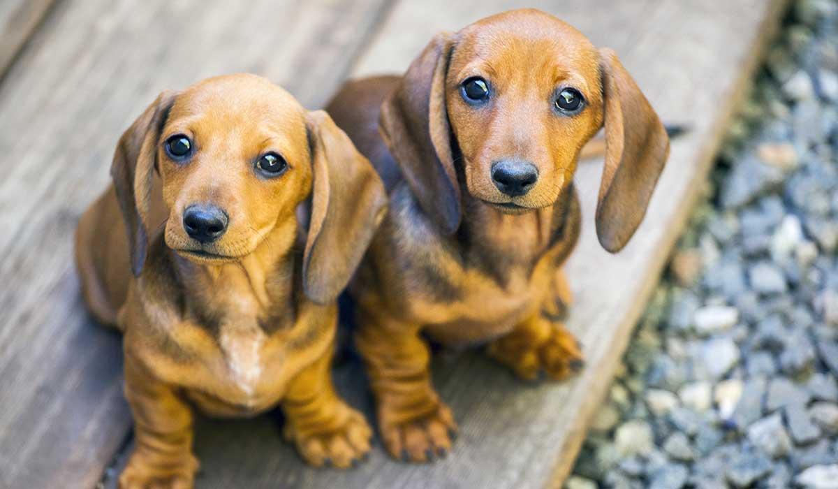 perro salchicha y mas razas alemanas