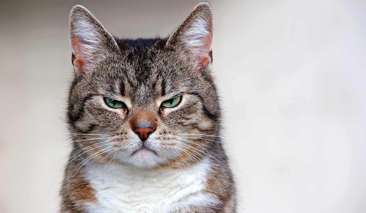 por qué los gatos se asustan con los pepinos