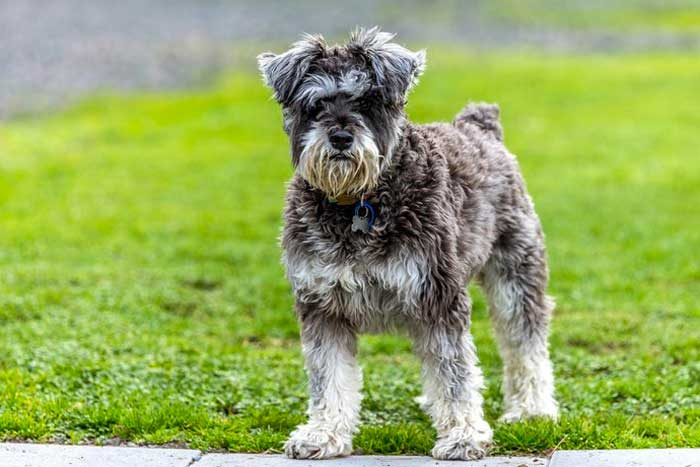 perro de raza alemana