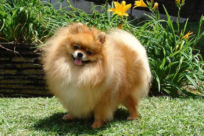 perro de raza alemán