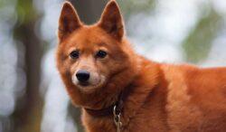 razas de perros más longevas