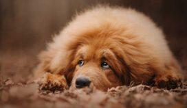 6 razas de perros que hoy están extintos