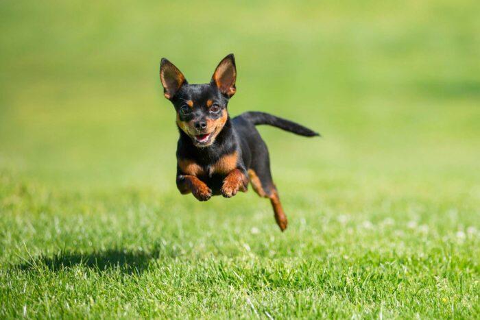 razas de perros que viven más