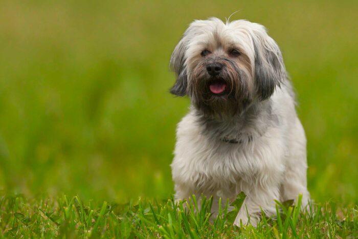 razas de perro que viven más