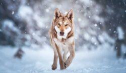 razas de perro que parecen lobos